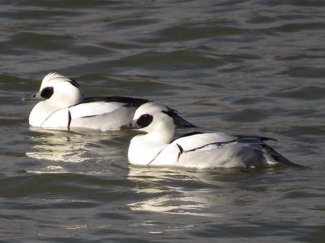 Smew, Ravensthorpe Res, 1st February 2015 (Simon Hales)