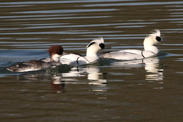 Smew, Ravensthorpe Res, 8th February 2015 (Bob Bullock)