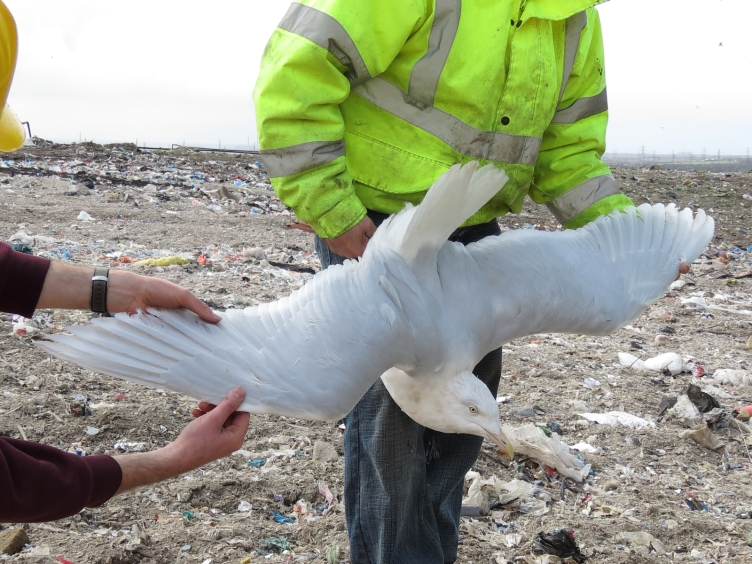 Adult Glaucous Gull, Pitsea Landfill, 21st March 2015 (Paul Roper)