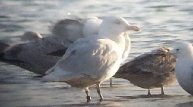 Adult Glaucous Gull, Stanwick GP, 27th March 2015 (Steve Fisher)