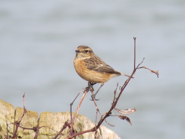 Female Stonechat, Pitsford Res, 1st March 2015 (Simon Hales)
