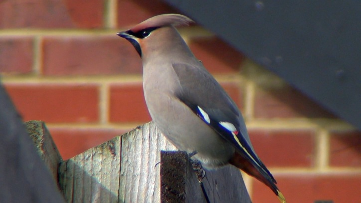 First-winter Waxwing, Corby, 11th March 2015 (Michael Tew)