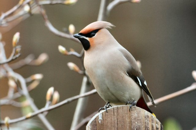 First-winter Waxwing, Corby, 12th March 2015 (Bob Bullock)