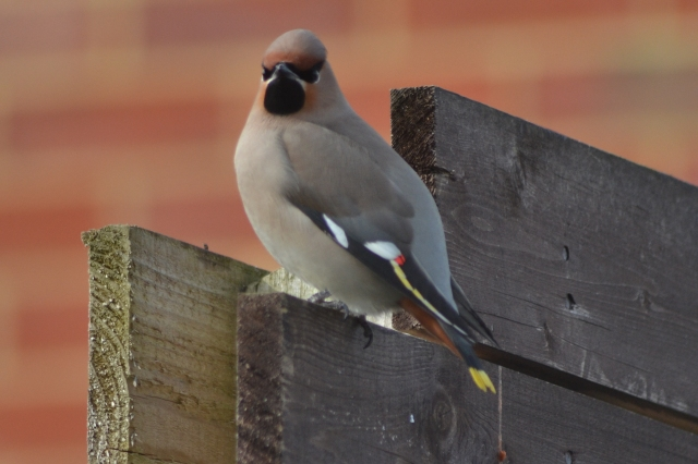 First-winter Waxwing, Corby, 12th March 2015 (Stuart Mundy)