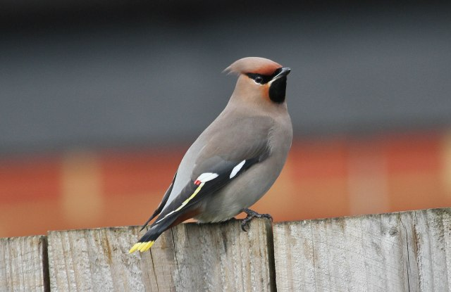 First-winter Waxwing, Corby, 13th March 2015 (Alan Coles)