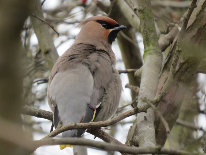First-winter Waxwing, Corby, 15th March 2015 (Simon Hales)