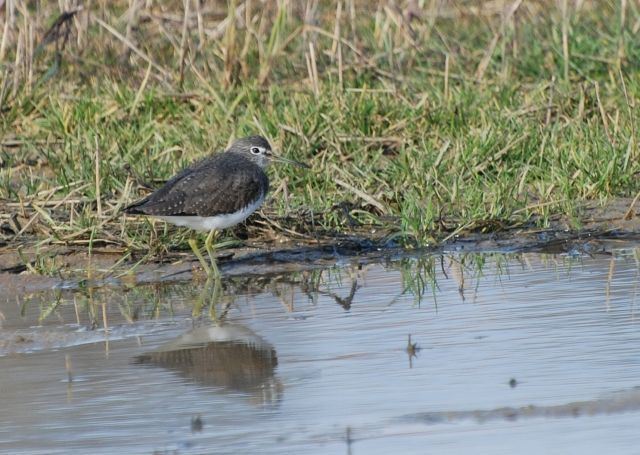 Green Sandpiper, between Everdon and Fawsley, 13th March 2015 (Ray Vessey)