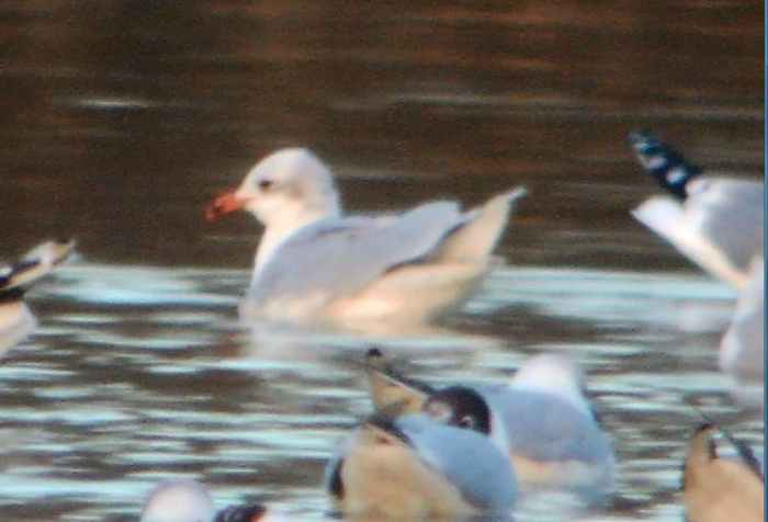 Second-winter Mediterranean Gull, Boddington Res 10th March 2015 (Mike Alibone)