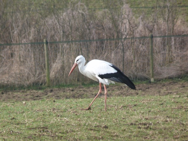 White Stork, Lowick, 12th March 2015 (Dave Holden)
