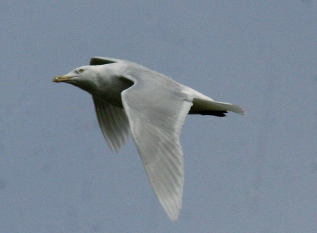 Adult Glaucous Gull, Stanwick GP, 22nd April 2015 (Steve Fisher)