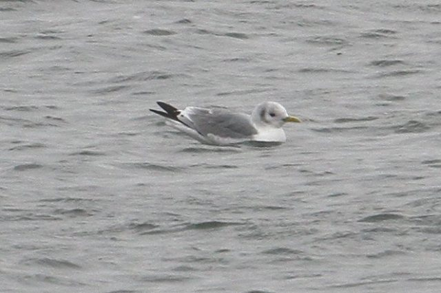 Adult Kittiwake, Pitsford Res, 30th March 2015 (Bob Bullock)