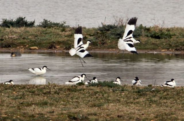 Avocets, Clifford Hill GP, 5th April 2014 (Bob Bullock)