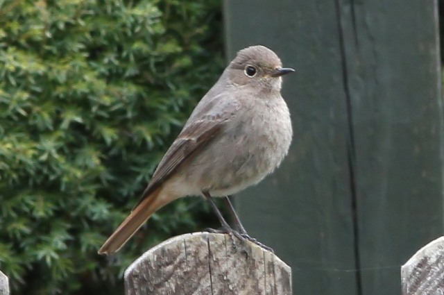 Black Redstart, Byfield, 21st March 2015 (Bob Bullock)