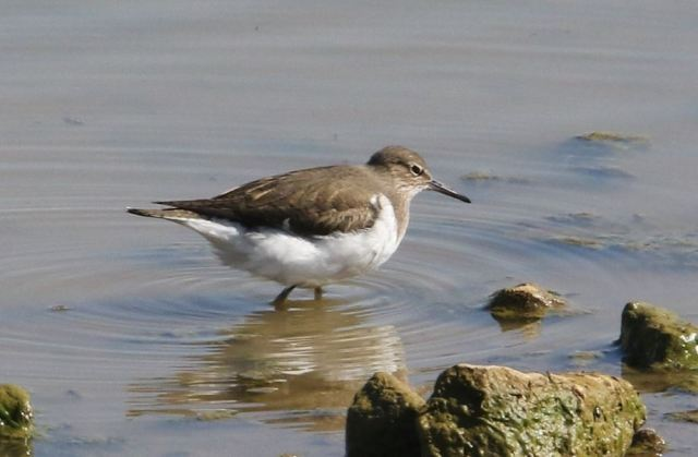 Common Sandpiper, Upton Valley Way, Northampton, 23rd April 2015 (Bob Bullock)