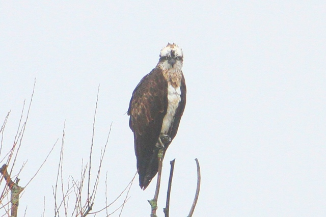 Female Osprey, Ravensthorpe Res, 3rd April 2015 (Bob Bullock)