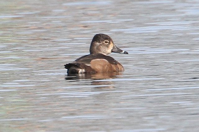 Female Ring-necked Duck, Billing GP, 27th March 2015 (Bob Bullock)