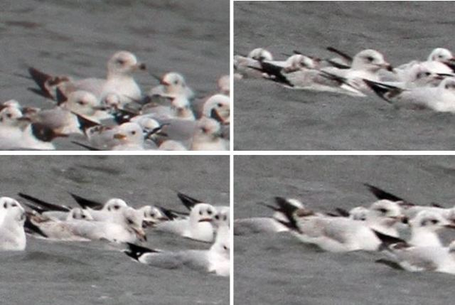 First-summer Ring-billed Gull, Boddington Res, 28th March 2015 (Bob Bullock)