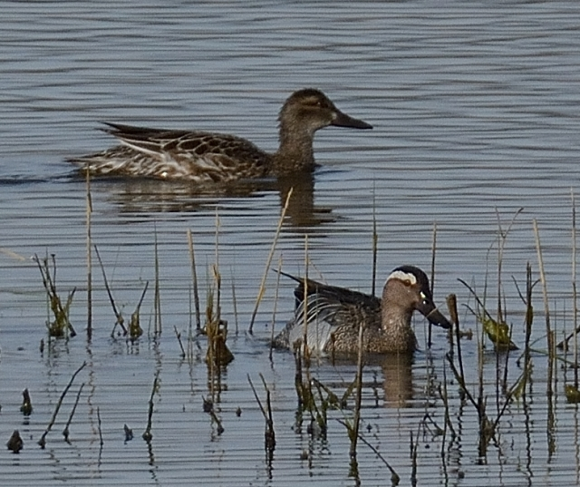 Garganey, Summer Leys LNR, 13th April 2015 (John Moon)