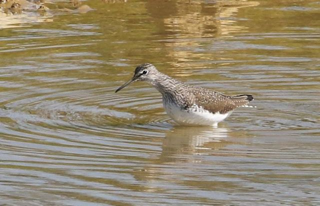 Green Sandpiper, Upton Valley Way, Northampton, 23rd April 2015 (Bob Bullock)