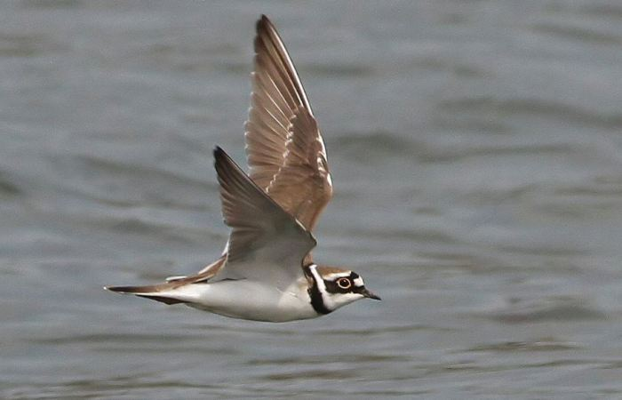 Little Ringed Plover, Hollowell Res, 10th April 2015 (Bob Bullock)