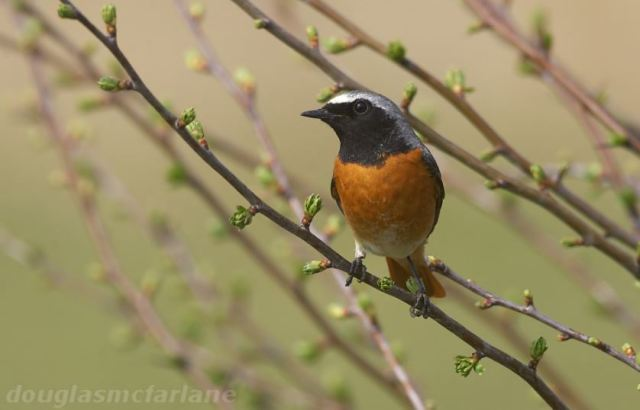 Male Common Redstart, Summer Leys LNR, 9th April 2015 (Douglas McFarlane)