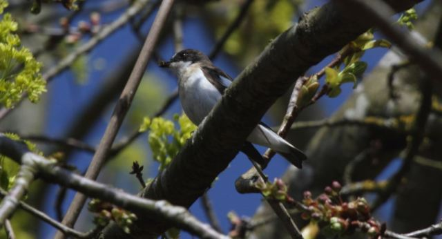 Male Pied Flycatcher, Pitsford Res, 14th April 2015 (Terry Armstrong)