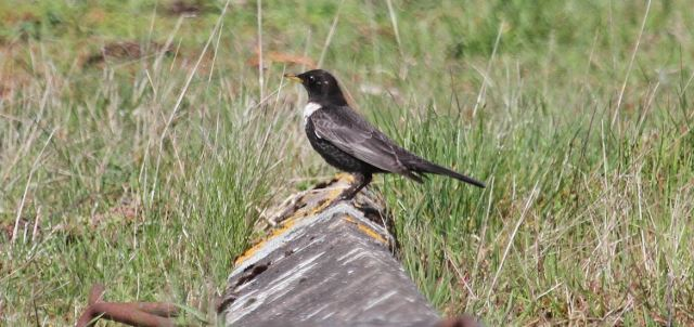 Male Ring Ouzel, Harrington AF, 10th April 2015 (Alan Coles)