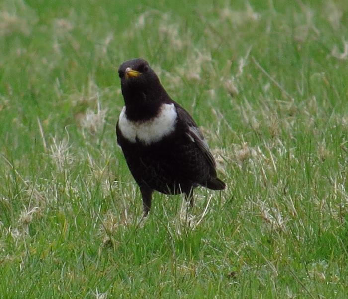Male Ring Ouzel, near Hollowell Res, 19th April 2015 (Cathy Ryden)