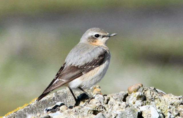 Northern Wheatear, Harrington AF, 5th April 2015 (Bob Bullock)