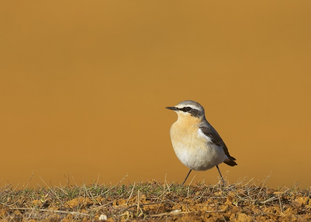 Northern Wheatear, Moulton Quarry, 14th April 2015 (Douglas Mcfarlane)