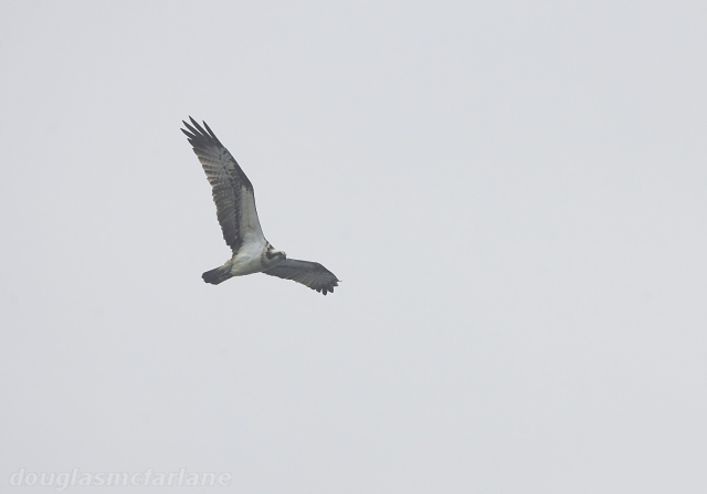 Osprey, Welford Res, 5th April 2015 (Douglas McFarlane)