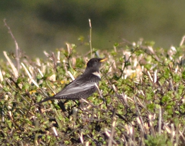 Ring Ouzel, Newnham Hill, 14th April 2015 (Stuart Mundy). One of seven present at this site.