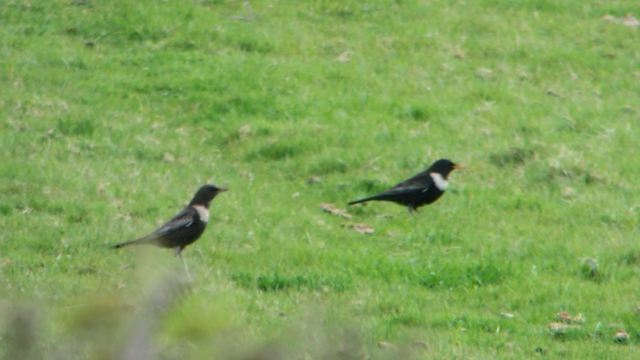 Ring Ouzels, Newnham Hill, 12th April 2015 (Mike Alibone). Two of seven present at this site.
