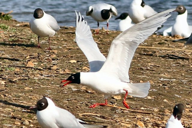 Second-summer Mediterranean Gull, Summer Leys LNR, 12th April 2015 (Bob Bullock)
