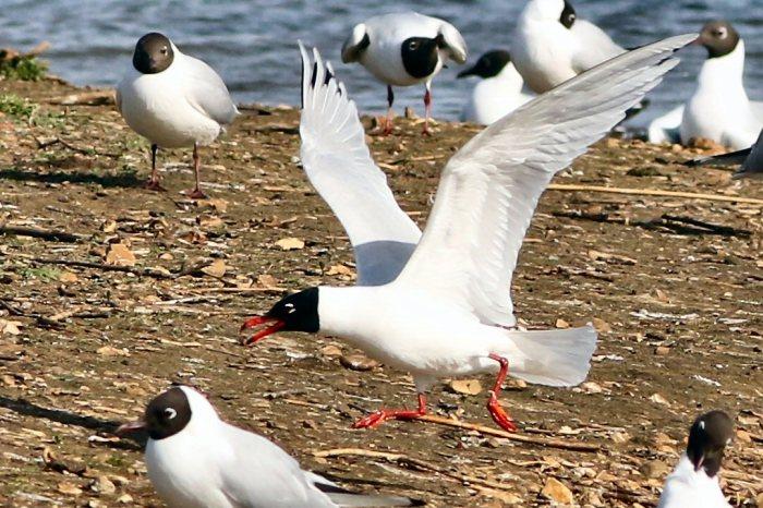 Second-summer Mediterranean Gull, Summer Leys LNR, 12th April 2015 (Bob Bullock)