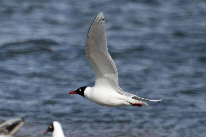Second-summer Mediterranean Gull, Summer Leys LNR, 1st April 2015 (Alan Coles)