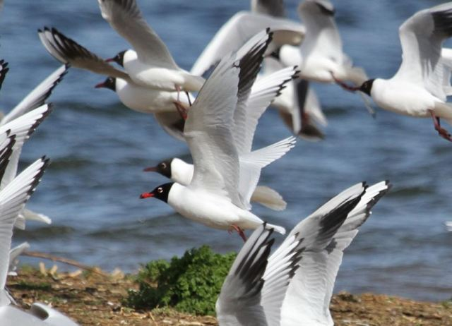 Second-summer Mediterranean Gull, Summer Leys LNR, 1st April 2015 (Alan Coles)