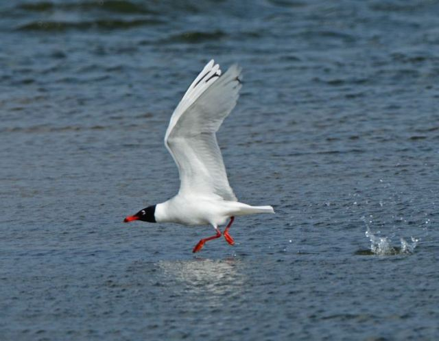 Second-summer Mediterranean Gull, Summer Leys LNR, 1st April 2015 (Clive Bowley)