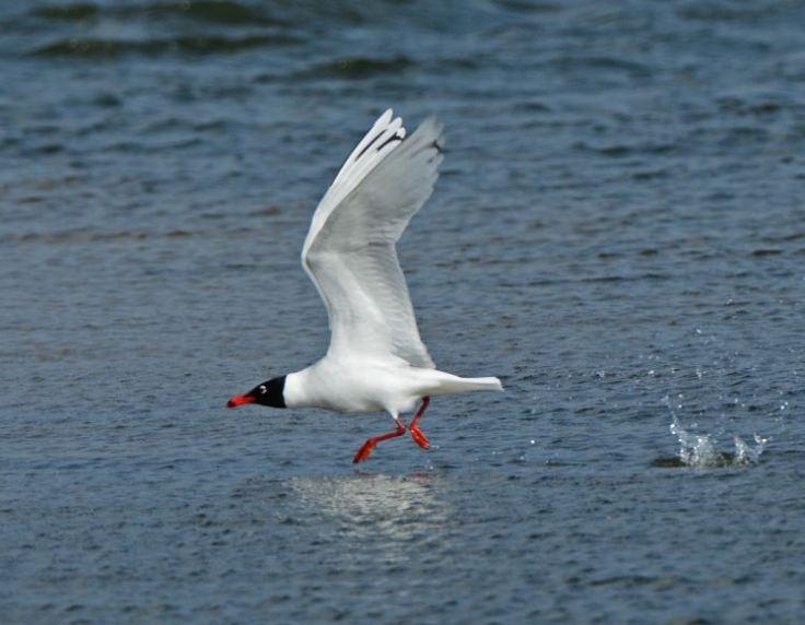 Second-summer Mediterranean Gull, Summer Leys LNR, 1st April 2015 (Clive Bowley)