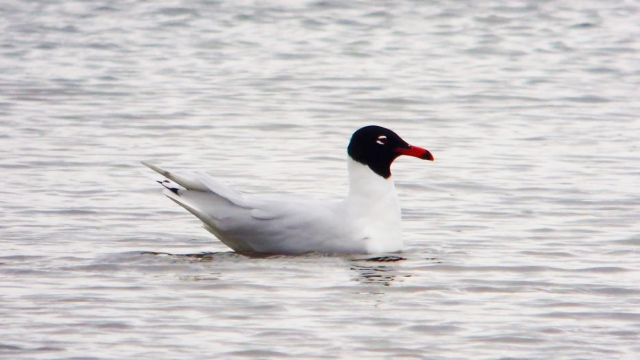 Second-summer Mediterranean Gull, Summer Leys LNR, 29th March (Mike Alibone)