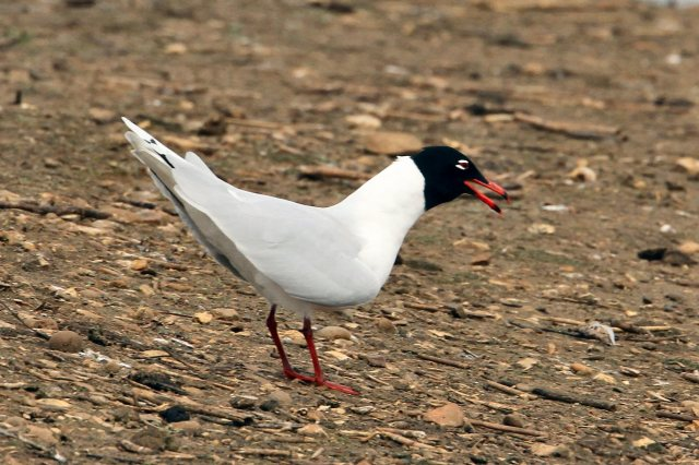 Second-summer Mediterranean Gull, Summer Leys LNR, 30th March (Bob Bullock)