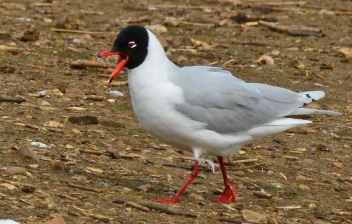 Second-summer Mediterranean Gull, Summer Leys LNR, 30th March (Clive Bowley)