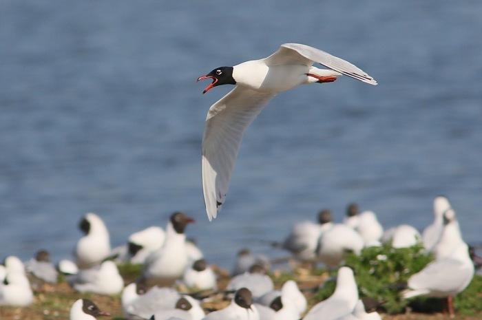 Second-summer Mediterranean Gull, Summer Leys LNR, 6th April 2015 (Dave Jackson)