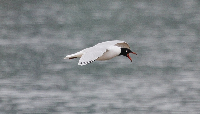 Second-summer Mediterranean Gull, Summer Leys LNR, 8th April 2015 (Alan Coles)