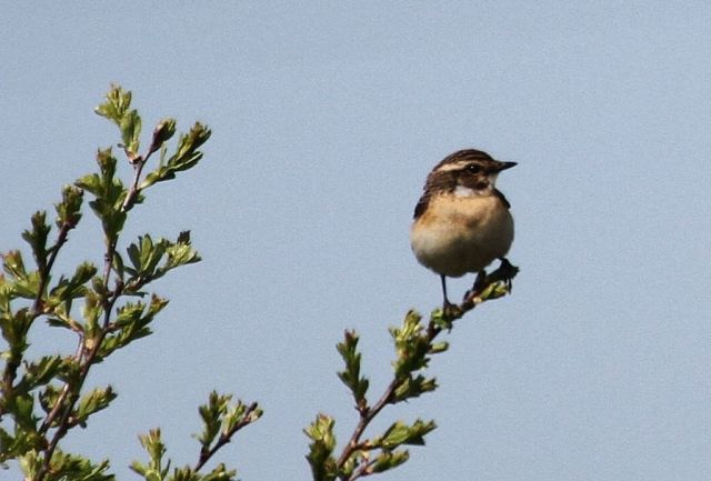 Whinchat, Earls Barton GP, 22nd April 2015 (Alan Coles)