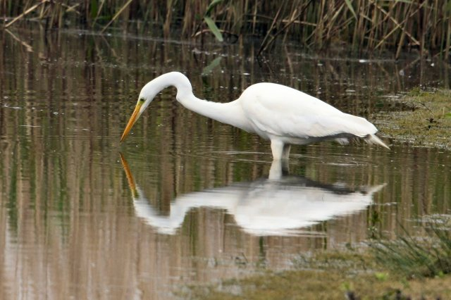 Great White Egret, Summer Leys, 8th May 2015 (Bob Bullock)