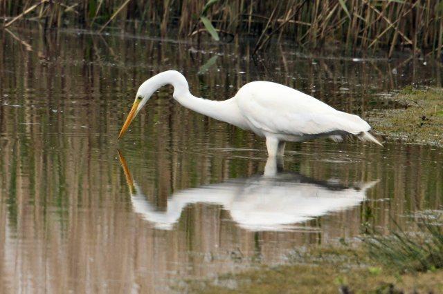 Great White Egret, Summer Leys, 8th May 2015 (Bob Bullock)