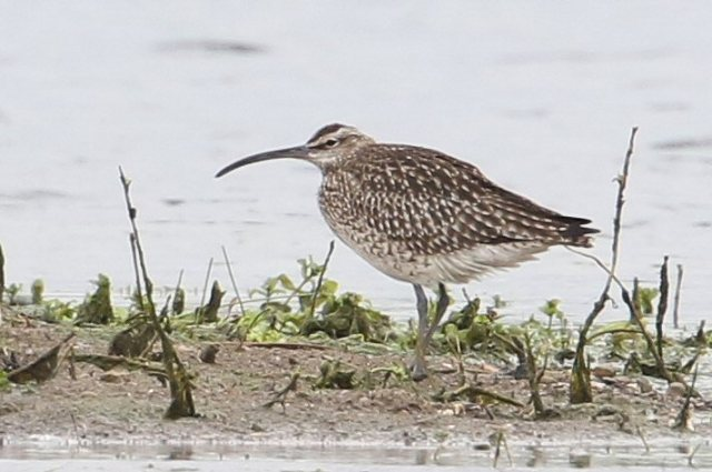 Whimbrel, Summer Leys LNR, 3rd May 2015 (Bob Bullock)