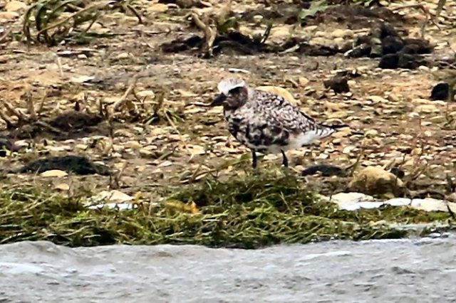 Grey Plover,  Summer Leys LNR, 5th May 2015 (Bob BullocK)