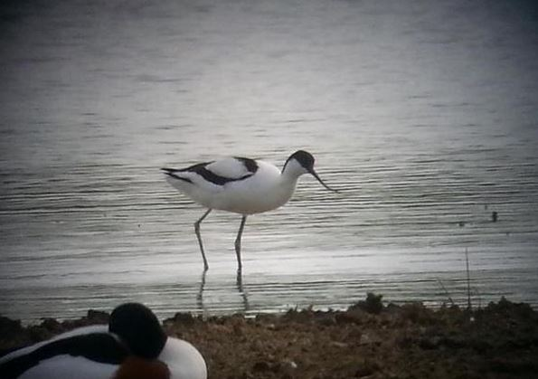 Avocet, Stanwick GP, 13th May 2015 (Steve Fisher)